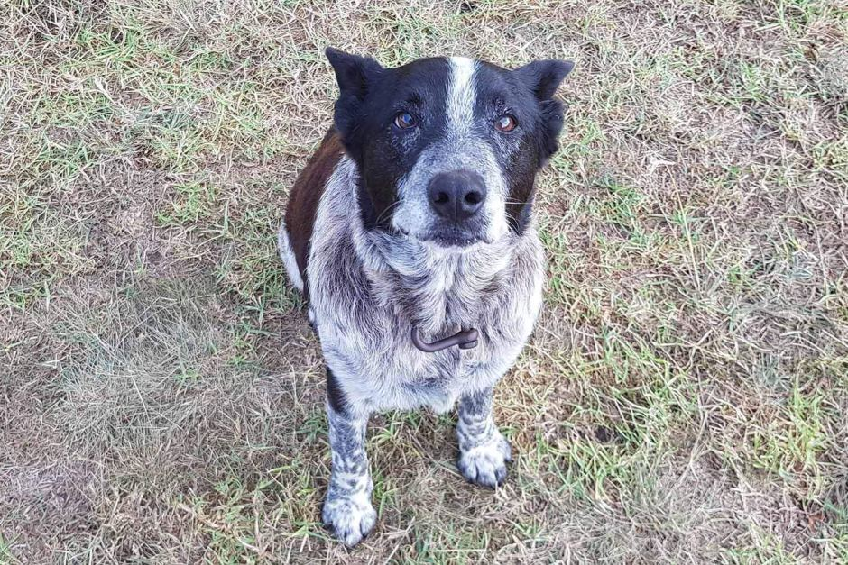 Seventeen year old blue heeler Max saves the day.